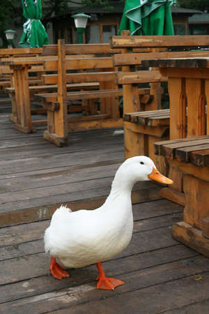 natue: Funny white duck on a wooden floor.
