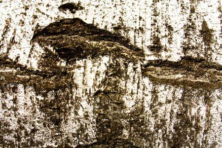 burl wood: Birch bark as a grunge background