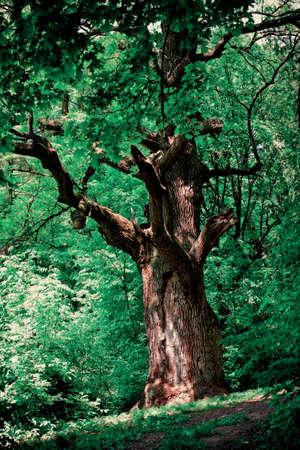 centenarian: Un viejo roble en el antiguo parque Foto de archivo