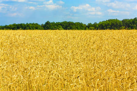 Ripe wheat field with woods and sky on background Stock Photo - 5357148