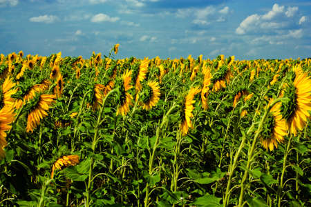 Sunflower field and prethunderstorm sky on background photo