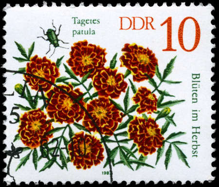 patula: GDR - CIRCA 1982: A Stamp shows image of a Marigold with the inscription Tagetes patula, from the series Autumn Flowers, circa 1982
