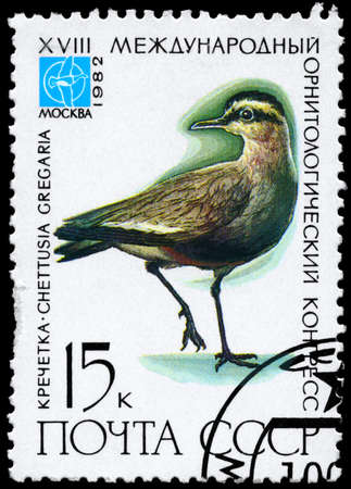 sociable: USSR - CIRCA 1982: A Stamp printed in USSR shows image of a Sociable Lapwing with the inscription