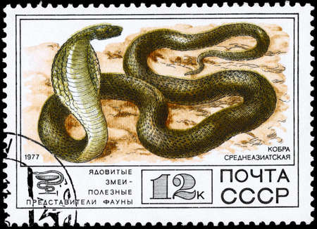 USSR - CIRCA 1977: A Stamp printed in USSR shows the image of a Cobra from the series Venomous snakes, useful for medicinal purposes, circa 1977 photo