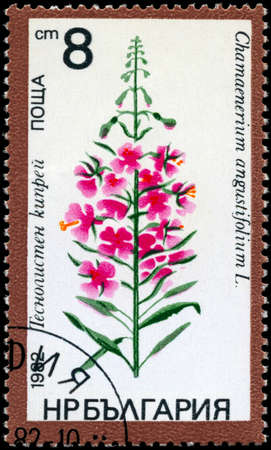 fireweed: BULGARIA - CIRCA 1982: A Stamp shows image of a Sally-bloom with the designation Chamaenerium angustifolium L., series, circa 1982 Stock Photo