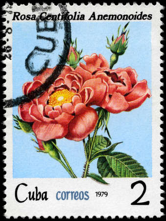 centifolia: CUBA - CIRCA 1979: A Stamp shows image of a pink Rose with the inscription rosa  centifolia anemonoides, series, circa 1979