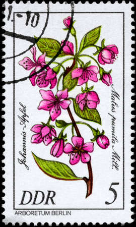 phytology: GDR - CIRCA 1981: A Stamp shows image of a Paradise Apple with the designation Malus pumila Mill. from the series Arboretum Berlin, circa 1981