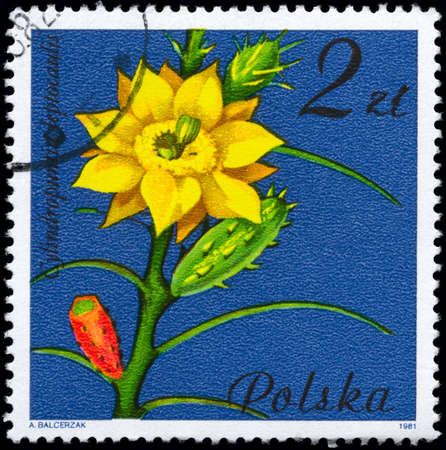 phytology: POLAND - CIRCA 1981: A Stamp shows image of a Cylindropuntia with the designation Cylindropuntia leptocaulis from the series Flowering Succulent Plants, circa 1981 Stock Photo