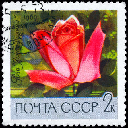 phytology: USSR - CIRCA 1969: A Stamp printed in USSR shows image of a Rose with the description Yasnaya Polyana Rose, series, circa 1969