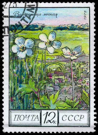 phytology: USSR - CIRCA 1975: A Stamp shows image of a Anemone with the designation Anemone sylvestris, series, circa 1975 Stock Photo