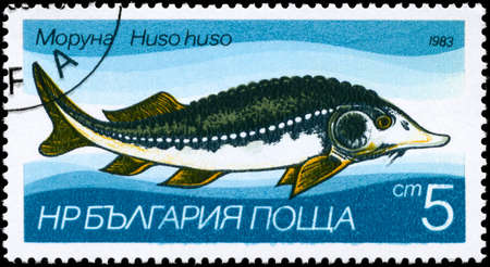 limnetic: BULGARIA - CIRCA 1983: A Stamp printed in BULGARIA shows image of a Sturgeon with the description Huso huso from the series Fresh-water Fish, circa 1983