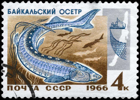 limnetic: USSR - CIRCA 1966: A Stamp printed in USSR shows image of a Sturgeon from the series Fish resources of Lake Baikal, circa 1966