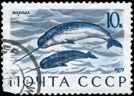 USSR - CIRCA 1971: A Stamp printed in USSR shows image of a Narwhals from the series Sea Mammals, circa 1971  photo