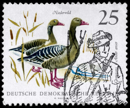 GDR - CIRCA 1968: A Stamp printed in GDR shows image of a Graylag Geese (cancelled by seal in the form of a hunter), series, circa 1968 Stock Photo - 9191328