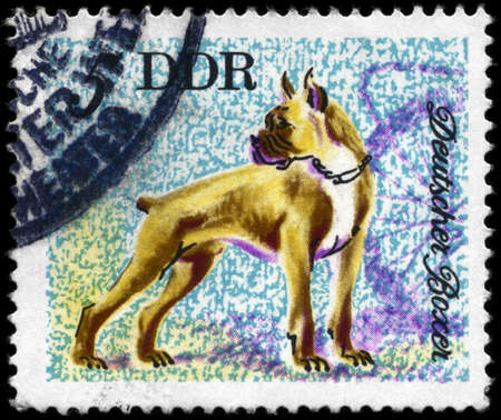 brute: GDR - CIRCA 1976: A Stamp printed in GDR shows image of a Boxer from the series Dogs, circa 1976