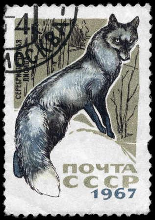 silver fox: URSS - alrededor de 1967: A sello impreso en USSR muestra im�genes de un zorro plateado de la serie Animales de peleter�a, alrededor de 1967 Foto de archivo
