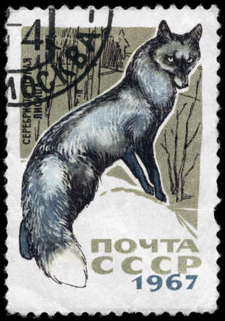 silver fox: USSR - CIRCA 1967: A Stamp printed in USSR shows image of a Silver Fox from the series Fur-bearing Animals, circa 1967