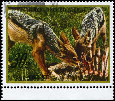 NORTH KOREA - CIRCA 1984: A Stamp printed in NORTH KOREA shows image of a Black-backed Jackals with prey from the series Wild Animals, circa 1984 photo