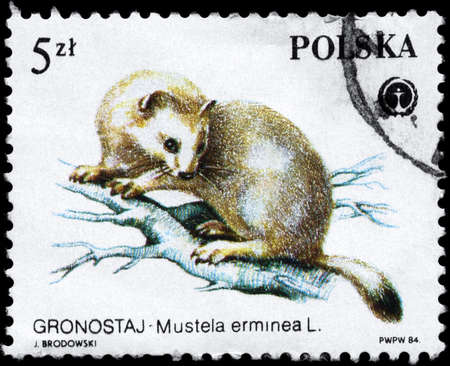 stoat: POLAND - CIRCA 1984: A Stamp printed in POLAND shows image of a Stoat with the description Mustela erminea from the series Protected Animals, circa 1984 Stock Photo