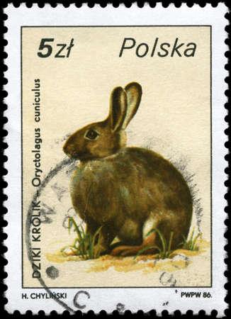 european rabbit: POLAND - CIRCA 1986: A Stamp printed in POLAND shows image of a European Rabbit with the description Oryctolagus cuniculus from the series Wildlife, circa 1986