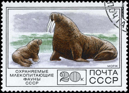 USSR - CIRCA 1977: A Stamp printed in USSR shows image of a Walrus and Calf from the series Protected Fauna, circa 1977 photo