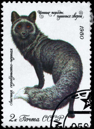 silver fox: USSR - CIRCA 1980: A Stamp printed in USSR shows image of a Dark Silver Fox from the series Fur-bearing Animals, circa 1980 Stock Photo