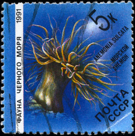 USSR - CIRCA 1991: A Stamp printed in USSR shows image of a Sea Anemone with the description Anemonia sulcata from the series Fauna of the Black Sea, circa 1991 photo