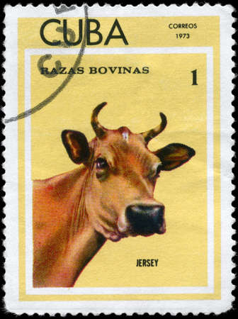 jersey cattle: CUBA - CIRCA 1973: A Stamp printed in CUBA shows image of a Cow Jersey from the series Thoroughbred Cows, circa 1973 Stock Photo