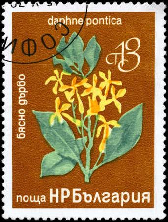 daphne: BULGARIA - CIRCA 1976: Un sello impreso en Bulgaria muestra la imagen de una Daphne con la descripci�n Daphne pontica serie, alrededor del a�o 1976 Foto de archivo