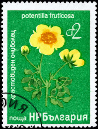 BULGARIA - CIRCA 1976: A Stamp printed in BULGARIA shows image of a Shrubby Cinquefoil with the description Potentilla fruticosa, series, circa 1976 photo