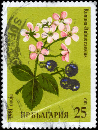 phytology: BULGARIA - CIRCA 1981: A Stamp printed in BULGARIA shows image of a Blackberries, with the description Rubus caesius, from the series Medicinal herbs, circa 1981