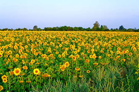 yielding: Landscape with a field of blooming sunflowers