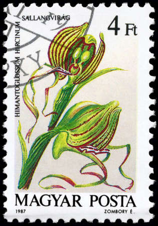 phytology: HUNGARY - CIRCA 1987: A Stamp printed in HUNGARY shows image of a Himantoglossum hircinum, from the series Orchids, circa 1987