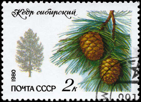 USSR - CIRCA 1980: A Stamp printed in USSR shows the Siberian Pine, series, circa 1980 photo