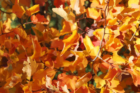 Feuillage d'automne de Hawthorn sur le fond