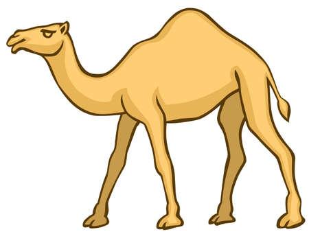 camello: Camello en el fondo blanco
