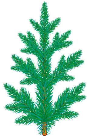 spruce tree: Blue spruce tree on white background