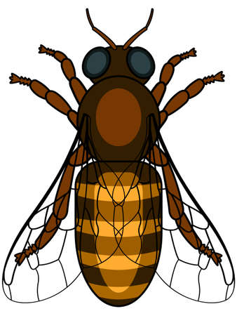 entomology: Illustration of the honeybee insect icon