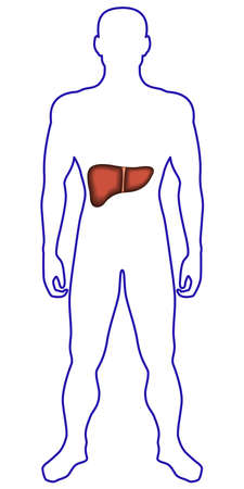 proportions of man: Illustration of the contour human body and liver