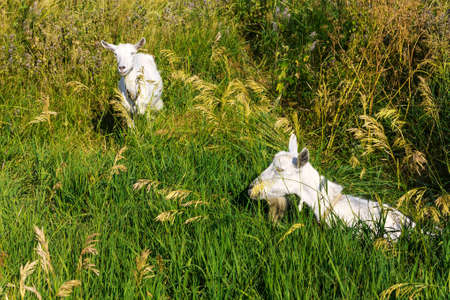 grazing land: Domestic goats on the pasture Stock Photo