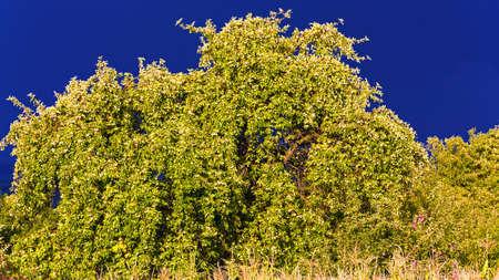 wilding: Big old wilding apple trees on the dark sky background Stock Photo