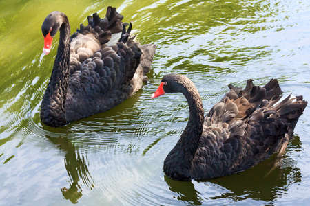 cygnus atratus: Two black swans on the water surface