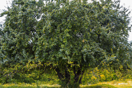 wilding: Countryside landscape with old pear tree