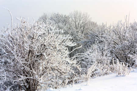 snowed: Winter landscape with snowed trees and bushes