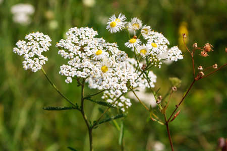 abloom: White wild flowers on green grass background