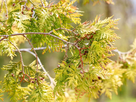 Spring nature background with western red cedar branches Stock Photo