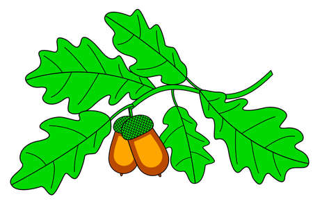 Illustration of the oak twig with acorn fruits