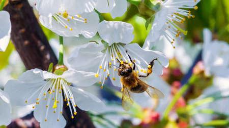 Cherry flowers and honeybee closeup