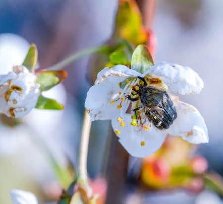 Sweet cherry flower and blossom feeder beetle closeup