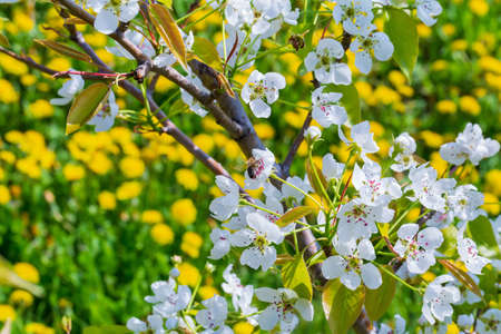 Landscape with pear tree blossom